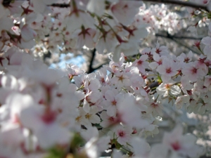 Cluster of cherry blossoms in Washington, D.C., March 2009