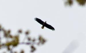 Bald eagle flies over hikers.