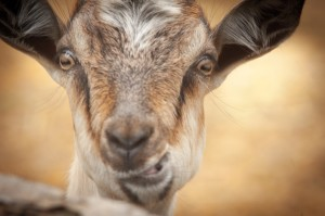 portrait-of-funny-goat-looking-to-camera-can-stock-photo-inc-stranger28